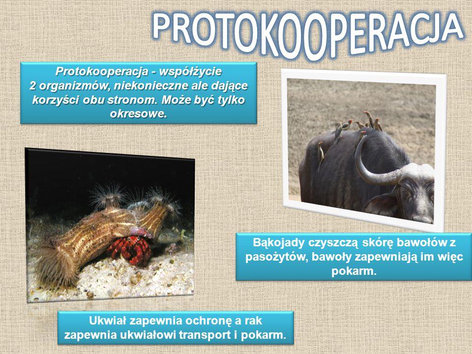 Protokooperacja - współżycie 2 organizmów, niekonieczne ale dające korzyści obu stronom. Może być tylko okresowe. Ukwiał zapewnia ochronę a rak zapewn