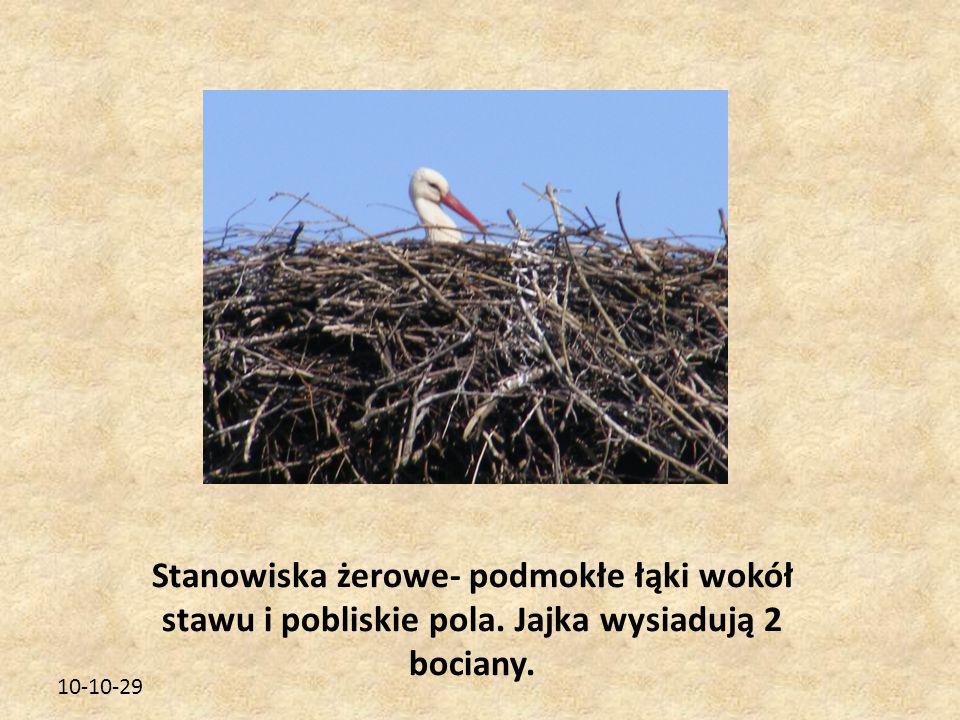 10-10-29 Stanowiska żerowe- podmokłe łąki wokół stawu i pobliskie pola. Jajka wysiadują 2 bociany.