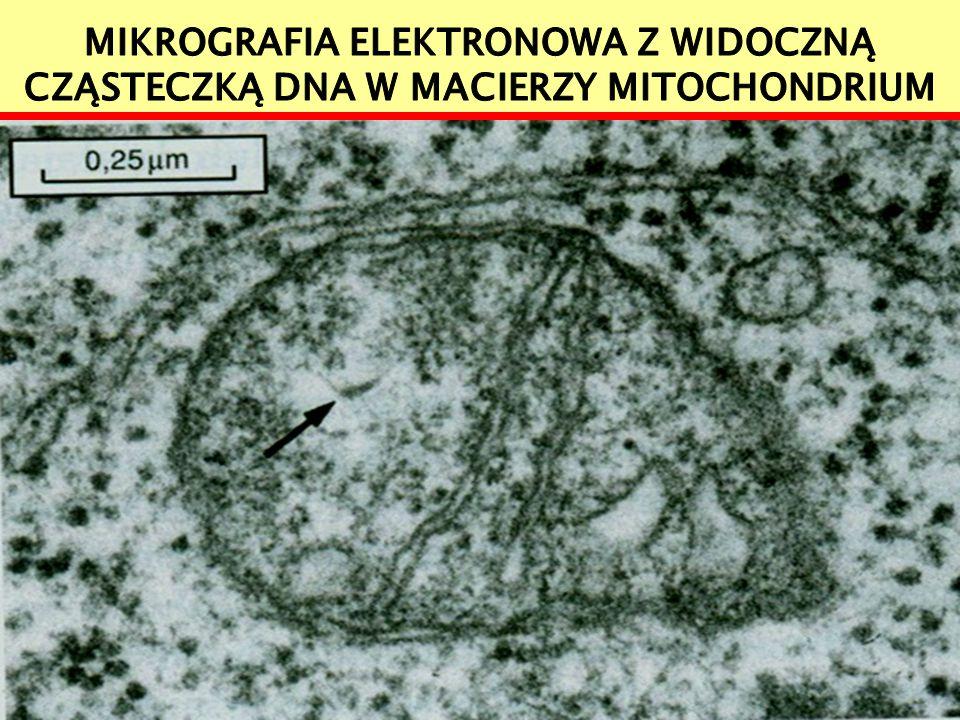 DNA mitochondrialny widoczny jest powyżej w jasnej macierzy w postaci drobnych nici w formie bardzo krótkich odcinków