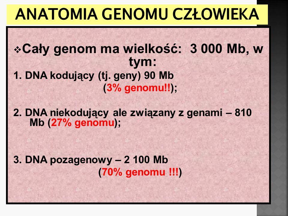  Cały genom ma wielkość: 3 000 Mb, w tym: 1. DNA kodujący (tj. geny) 90 Mb (3% genomu!!); 2. DNA niekodujący ale związany z genami – 810 Mb (27% geno