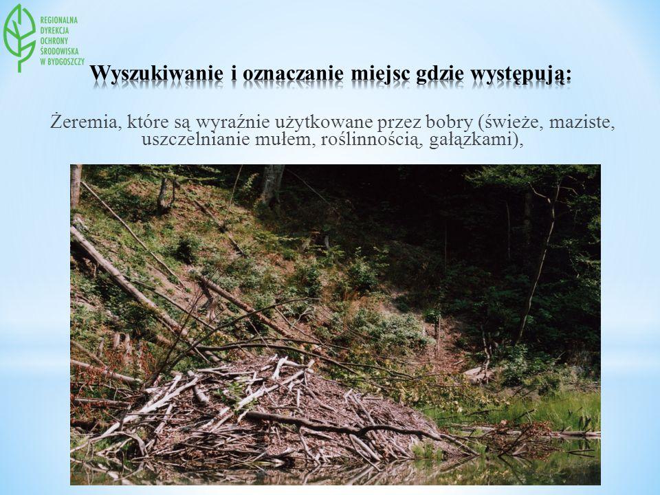 Żeremia, które są wyraźnie użytkowane przez bobry (świeże, maziste, uszczelnianie mułem, roślinnością, gałązkami),