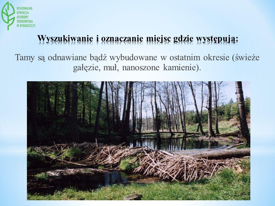 Tamy są odnawiane bądź wybudowane w ostatnim okresie (świeże gałęzie, muł, nanoszone kamienie).