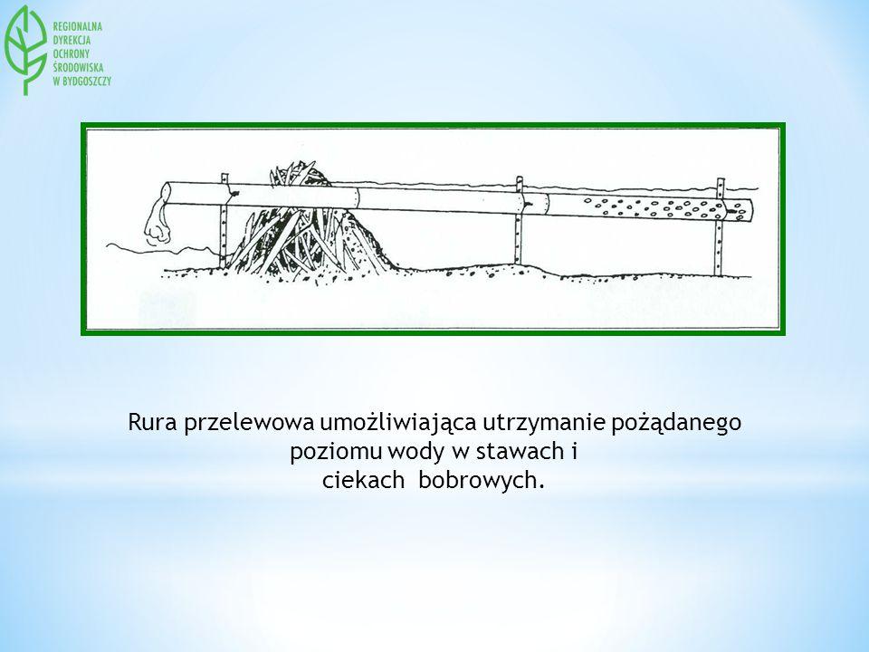 Rura przelewowa umożliwiająca utrzymanie pożądanego poziomu wody w stawach i ciekach bobrowych.