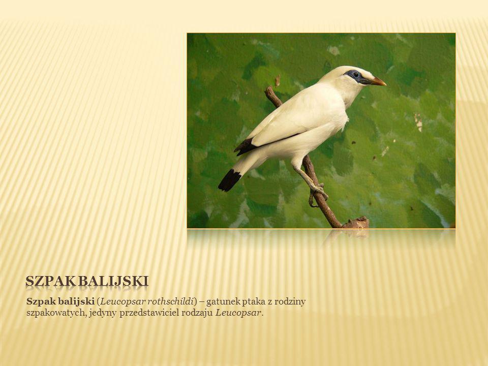 Szpak balijski (Leucopsar rothschildi) – gatunek ptaka z rodziny szpakowatych, jedyny przedstawiciel rodzaju Leucopsar.