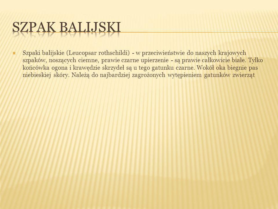  Szpaki balijskie (Leucopsar rothschildi) - w przeciwieństwie do naszych krajowych szpaków, noszących ciemne, prawie czarne upierzenie - są prawie ca