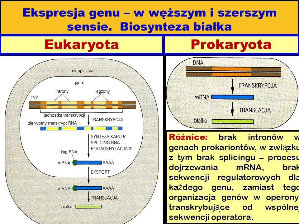 Ekspresja genu – w węższym i szerszym sensie. Biosynteza białka EukaryotaProkaryota Różnice: brak intronów w genach prokariontów, w zwi ą zku z tym br