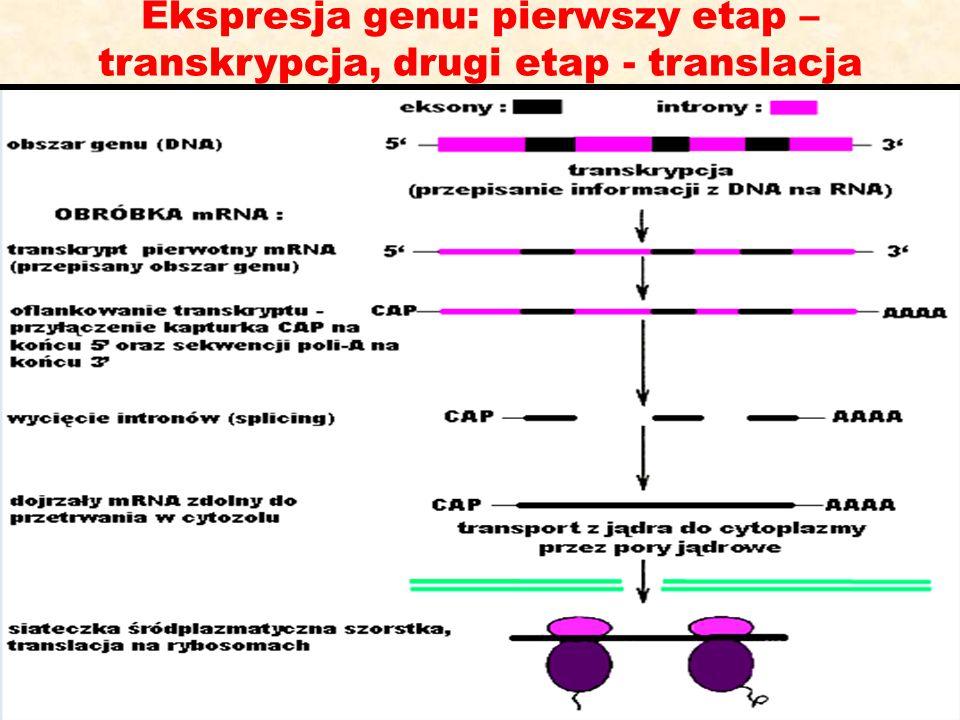 Ekspresja genu: pierwszy etap – transkrypcja, drugi etap - translacja
