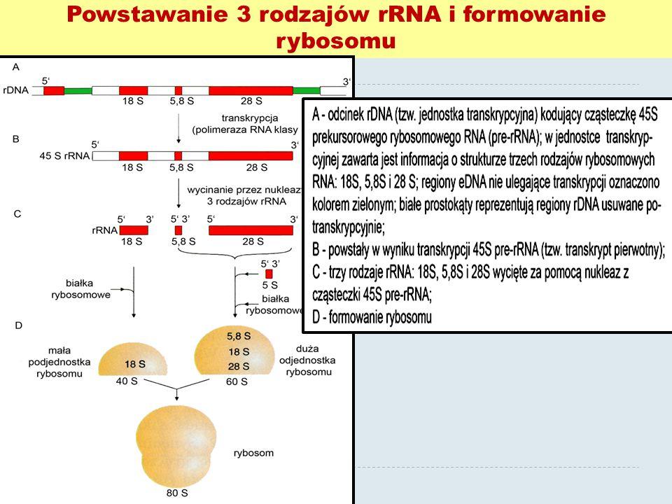 Powstawanie 3 rodzajów rRNA i formowanie rybosomu