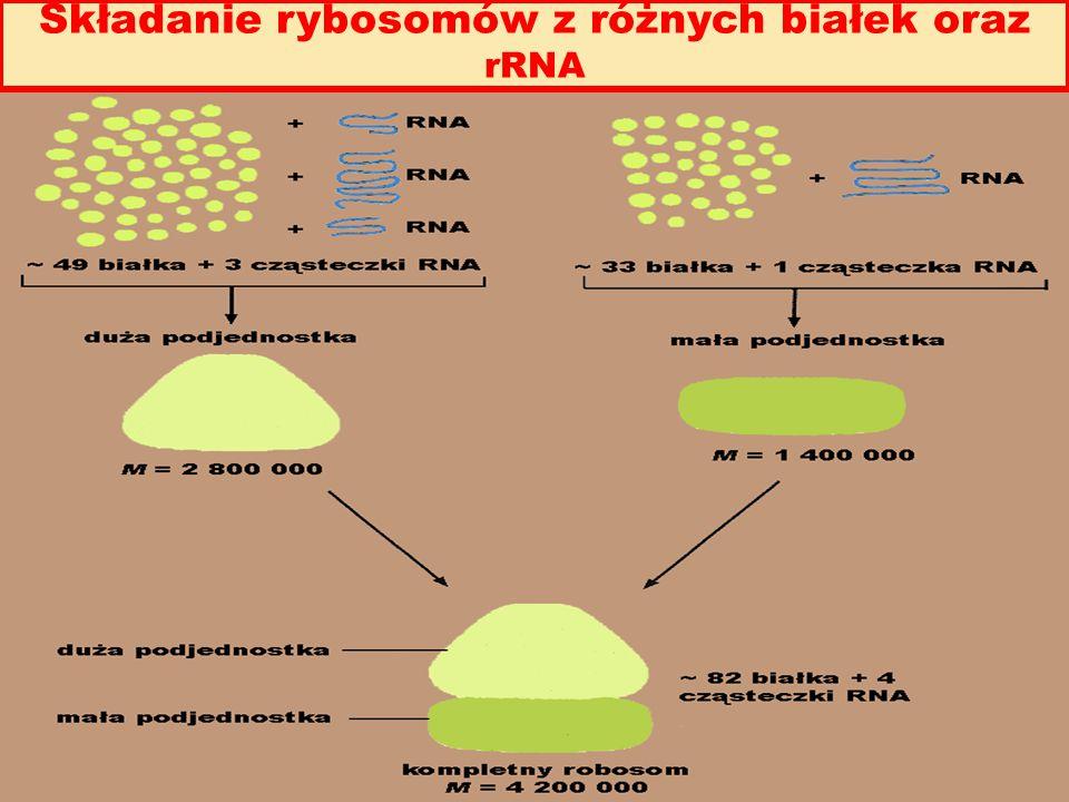 Składanie rybosomów z różnych białek oraz rRNA