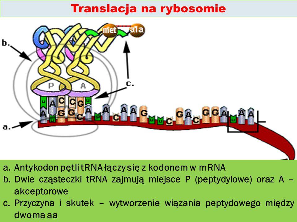 a.Antykodon pętli tRNA łączy się z kodonem w mRNA b.Dwie cząsteczki tRNA zajmują miejsce P (peptydylowe) oraz A – akceptorowe c.Przyczyna i skutek – wytworzenie wiązania peptydowego między dwoma aa Translacja na rybosomie