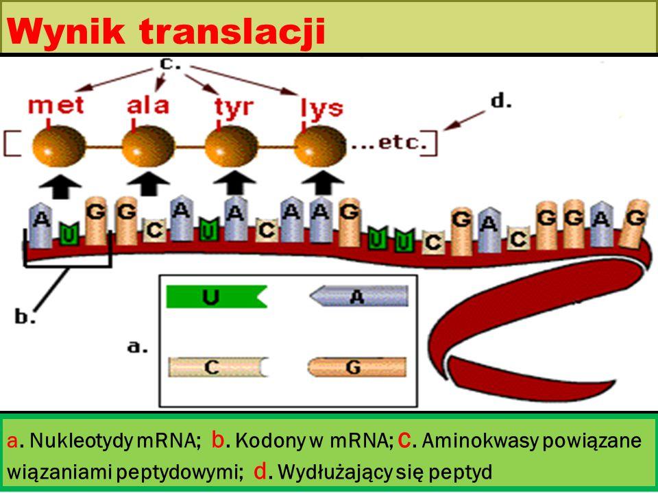 Wynik translacji a. Nukleotydy mRNA; b. Kodony w mRNA; c. Aminokwasy powiązane wiązaniami peptydowymi; d. Wydłużający się peptyd