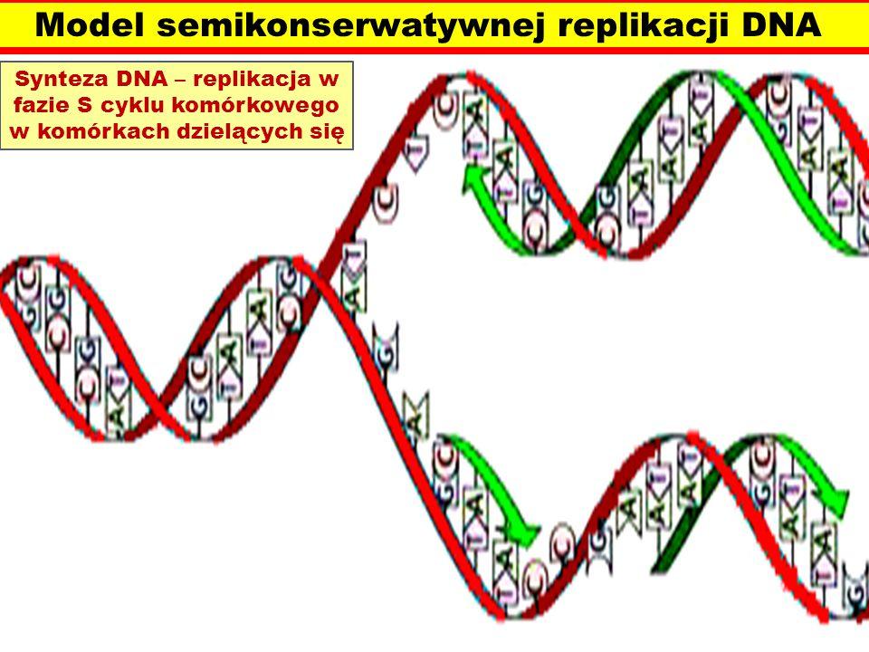 Model semikonserwatywnej replikacji DNA Synteza DNA – replikacja w fazie S cyklu komórkowego w komórkach dzielących się