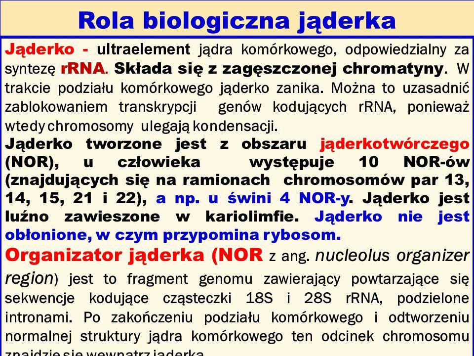 Rola biologiczna jąderka Jąderko - ultraelement jądra komórkowego, odpowiedzialny za syntezę rRNA. Składa się z zagęszczonej chromatyny. W trakcie pod