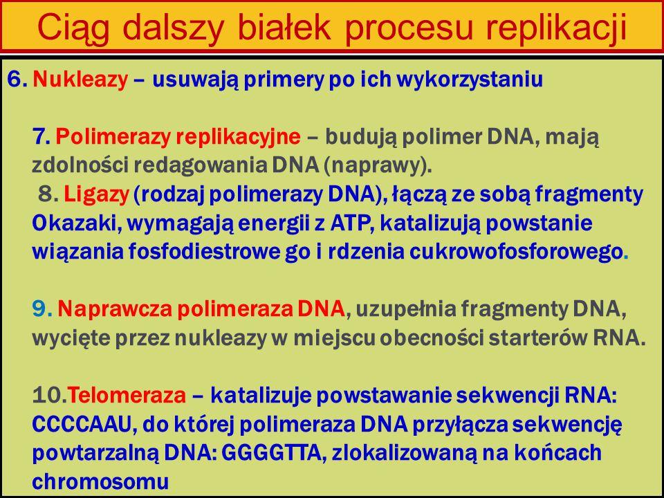 6. Nukleazy – usuwają primery po ich wykorzystaniu 7. Polimerazy replikacyjne – budują polimer DNA, mają zdolności redagowania DNA (naprawy). 8. Ligaz