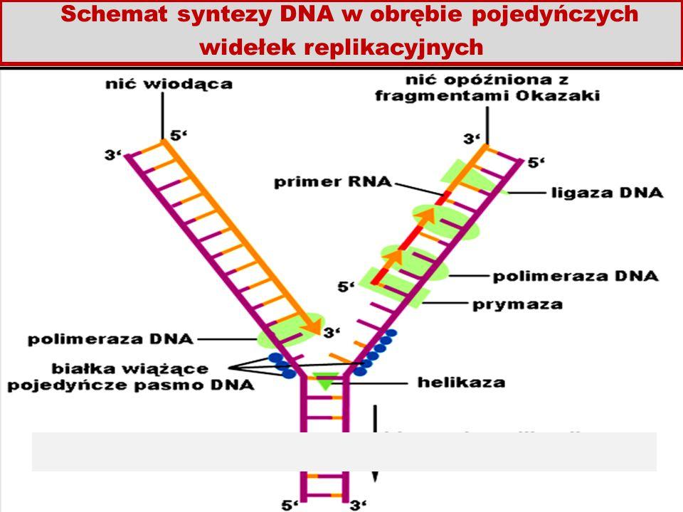 Schemat syntezy DNA w obrębie pojedyńczych widełek replikacyjnych