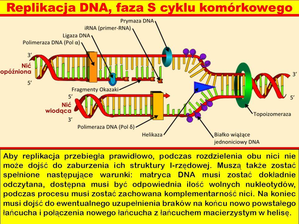Replikacja DNA, faza S cyklu komórkowego Aby replikacja przebieg ł a prawid ł owo, podczas rozdzielenia obu nici nie mo ż e doj ść do zaburzenia ich s