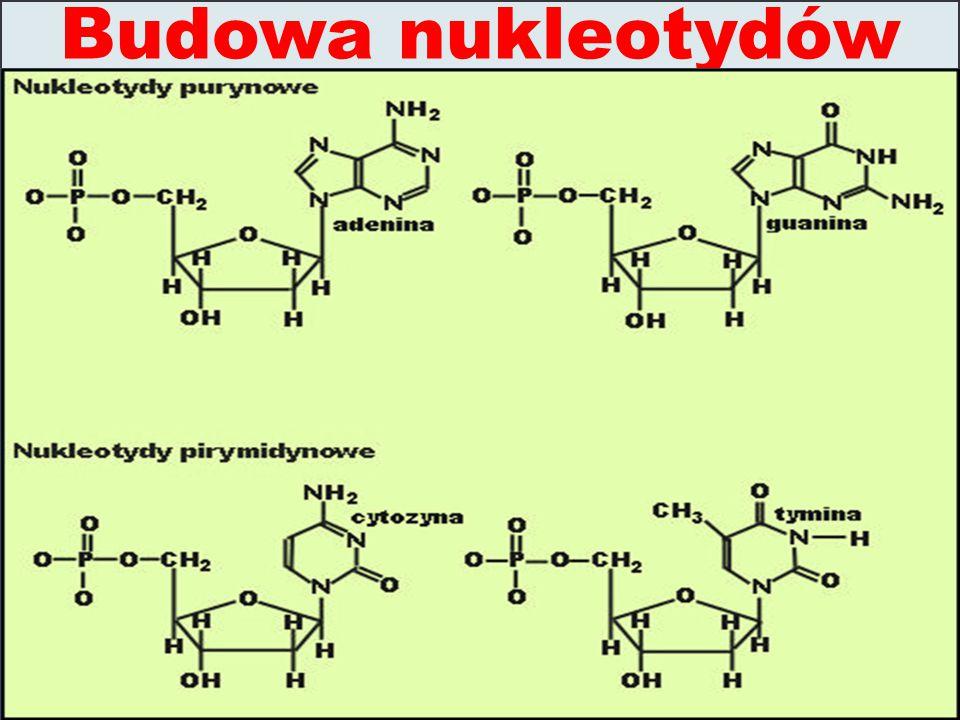 Budowa nukleotydów