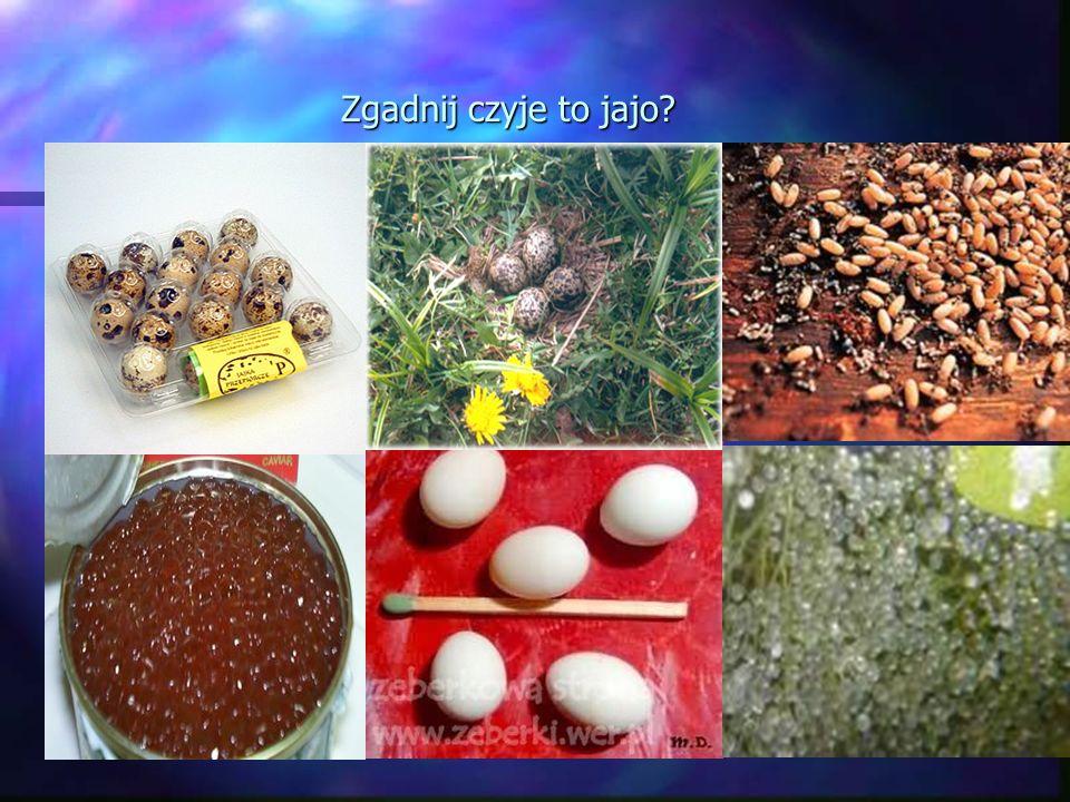 Efekt Tyndalla: Białko jaja kurzego rozpuszcza się w wodzie, tworząc tzw. roztwór koloidalny. Dla roztworu tego charakterystyczny jest efekt Tyndalla-
