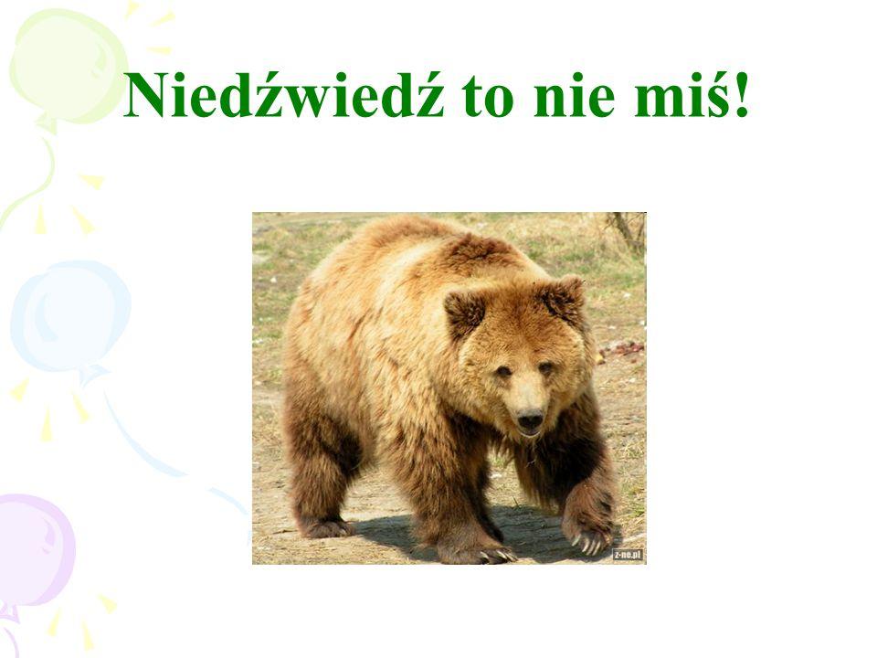 Niedźwiedź to nie miś!
