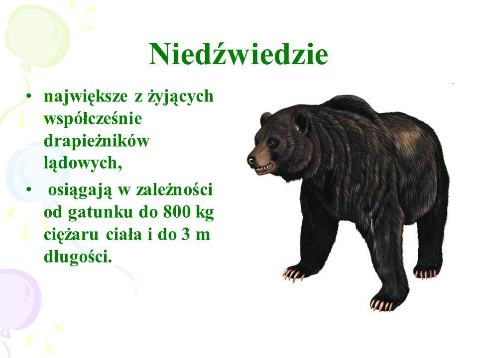 Niedźwiedzie największe z żyjących współcześnie drapieżników lądowych, osiągają w zależności od gatunku do 800 kg ciężaru ciała i do 3 m długości.