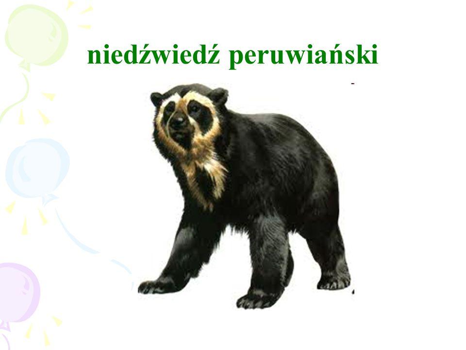 niedźwiedź peruwiański