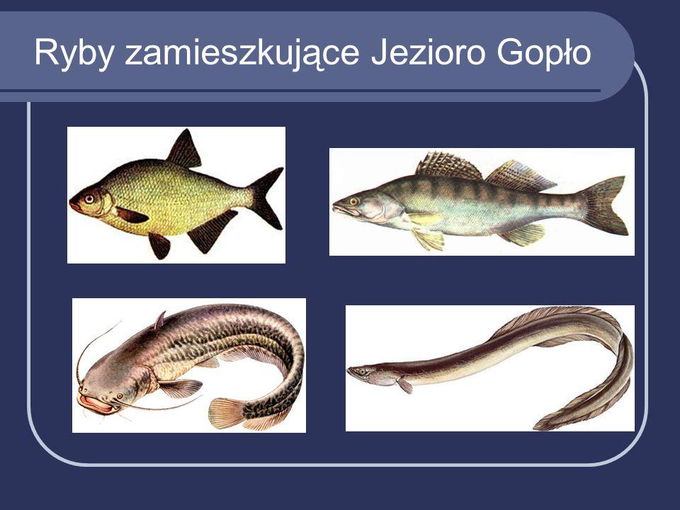 Ryby zamieszkujące Jezioro Gopło