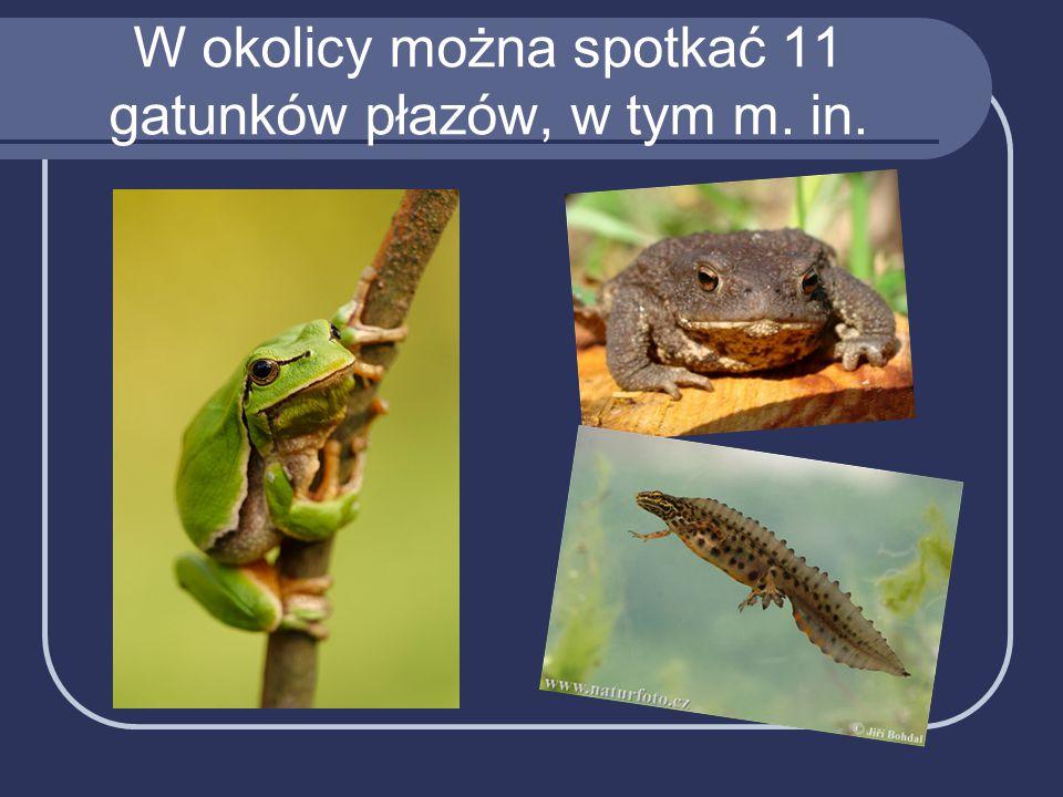 W okolicy można spotkać 11 gatunków płazów, w tym m. in.