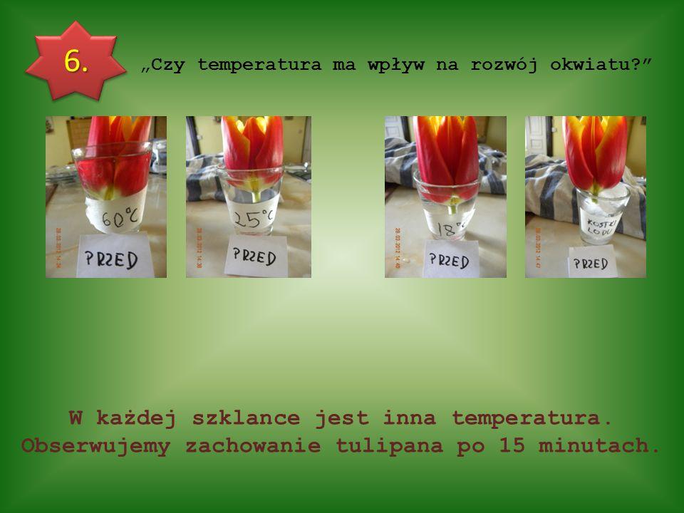"""""""Czy temperatura ma wpływ na rozwój okwiatu?"""" 6. W każdej szklance jest inna temperatura. Obserwujemy zachowanie tulipana po 15 minutach."""