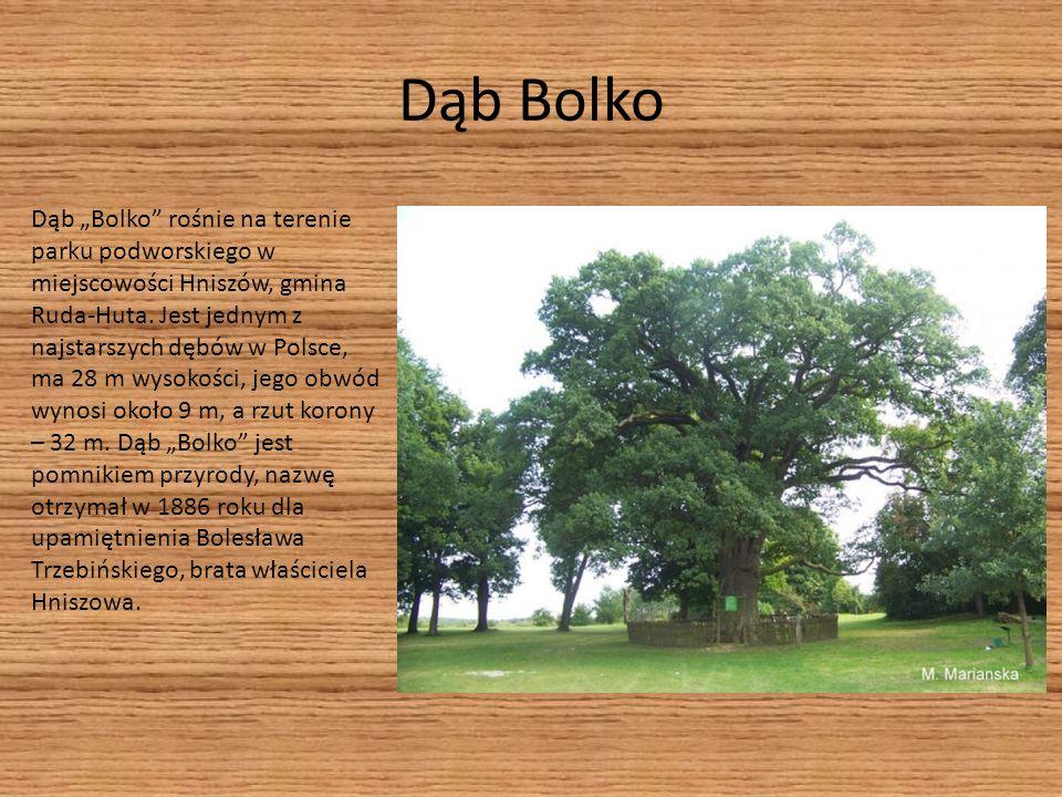 """Dąb Bolko Dąb """"Bolko"""" rośnie na terenie parku podworskiego w miejscowości Hniszów, gmina Ruda-Huta. Jest jednym z najstarszych dębów w Polsce, ma 28 m"""