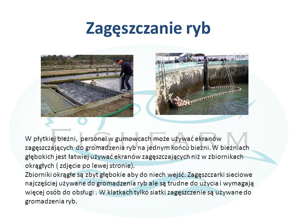 Zagęszczanie ryb W płytkiej bieżni, personel w gumowcach może używać ekranów zagęszczających do gromadzenia ryb na jednym końcu bieżni.