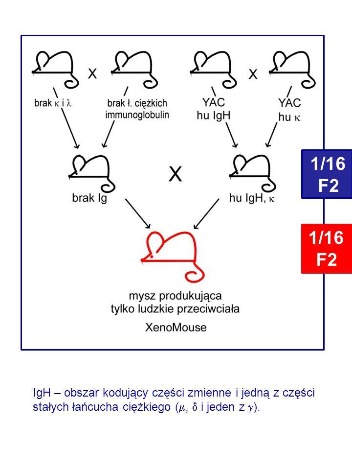 IgH – obszar kodujący części zmienne i jedną z części stałych łańcucha ciężkiego ( ,  i jeden z  ).