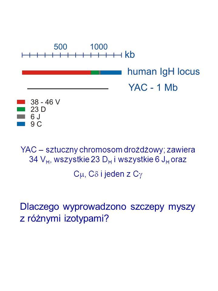 YAC – sztuczny chromosom drożdżowy; zawiera 34 V H, wszystkie 23 D H i wszystkie 6 J H oraz C , C  i jeden z C  Dlaczego wyprowadzono szczepy myszy z różnymi izotypami?