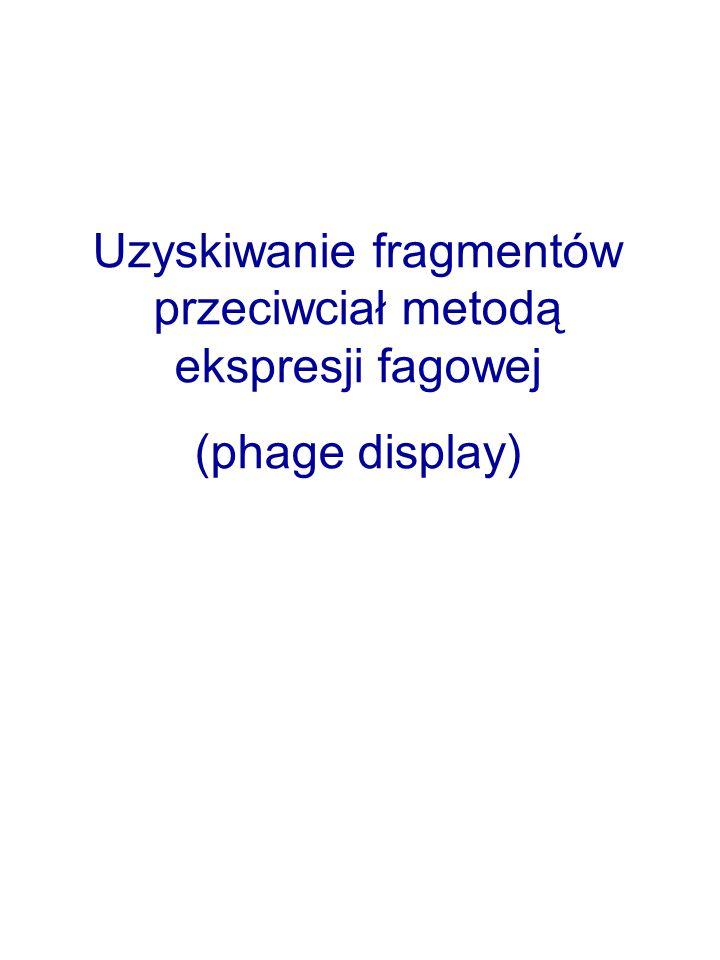 Uzyskiwanie fragmentów przeciwciał metodą ekspresji fagowej (phage display)