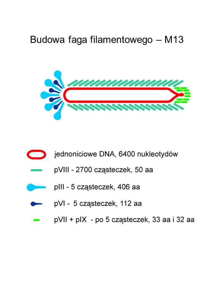 Budowa faga filamentowego – M13