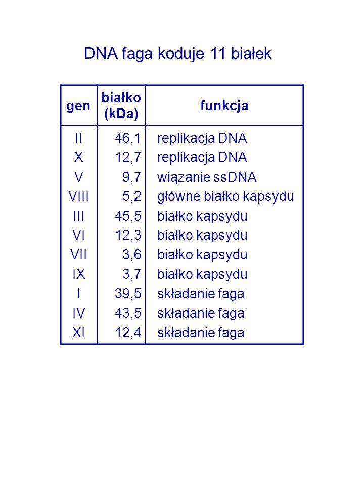 gen białko (kDa) funkcja II X V VIII III VI VII IX I IV XI 46,1 12,7 9,7 5,2 45,5 12,3 3,6 3,7 39,5 43,5 12,4 replikacja DNA wiązanie ssDNA główne bia