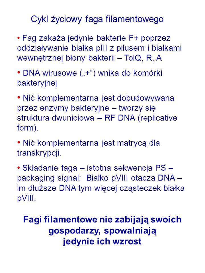 """Cykl życiowy faga filamentowego Fag zakaża jedynie bakterie F+ poprzez oddziaływanie białka pIII z pilusem i białkami wewnętrznej błony bakterii – TolQ, R, A DNA wirusowe (""""+ ) wnika do komórki bakteryjnej Nić komplementarna jest dobudowywana przez enzymy bakteryjne – tworzy się struktura dwuniciowa – RF DNA (replicative form)."""