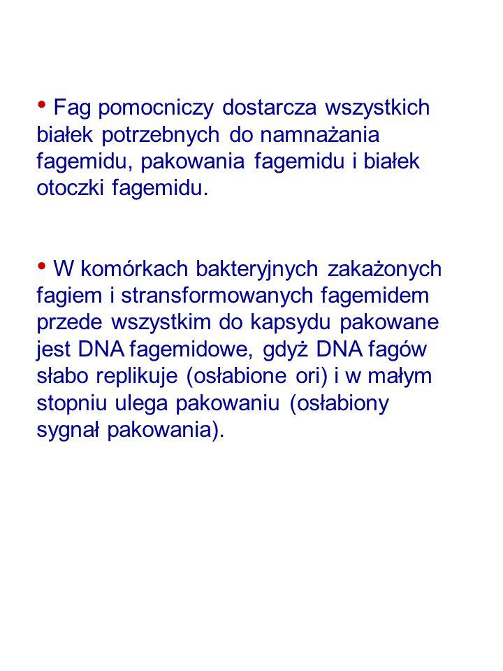 Fag pomocniczy dostarcza wszystkich białek potrzebnych do namnażania fagemidu, pakowania fagemidu i białek otoczki fagemidu. W komórkach bakteryjnych
