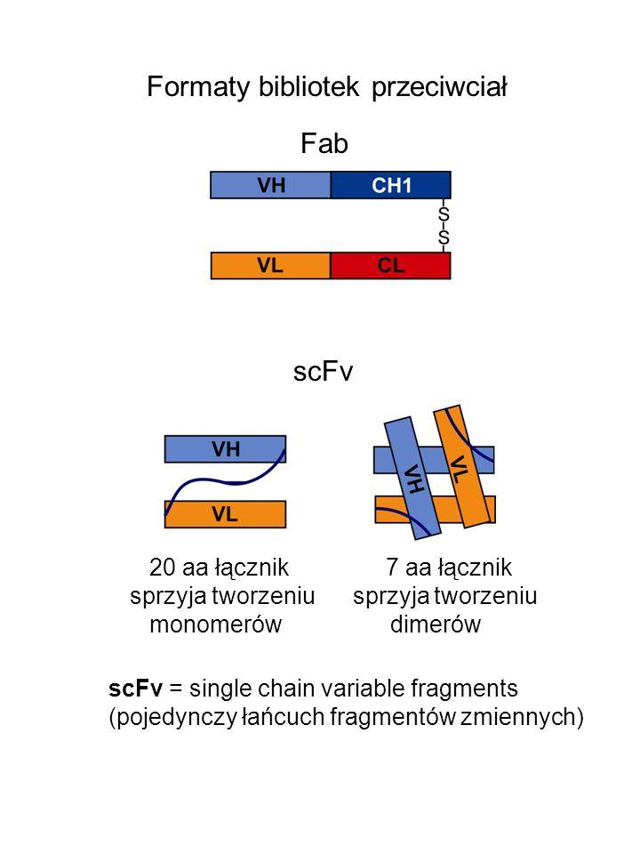 Formaty bibliotek przeciwciał Fab 20 aa łącznik 7 aa łącznik sprzyja tworzeniu monomerów dimerów scFv = single chain variable fragments (pojedynczy łańcuch fragmentów zmiennych) scFv