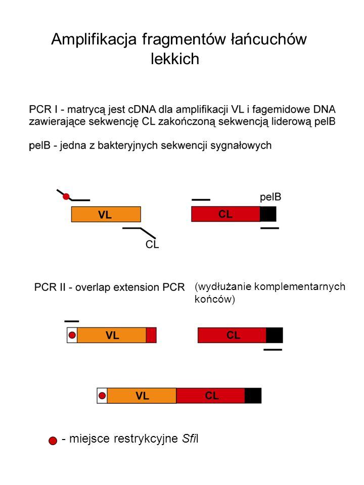 Amplifikacja fragmentów łańcuchów lekkich - miejsce restrykcyjne SfiI (wydłużanie komplementarnych końców)
