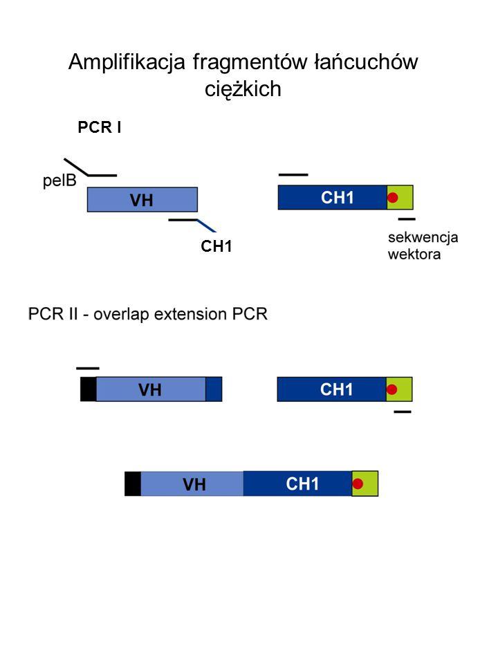Amplifikacja fragmentów łańcuchów ciężkich PCR I CH1