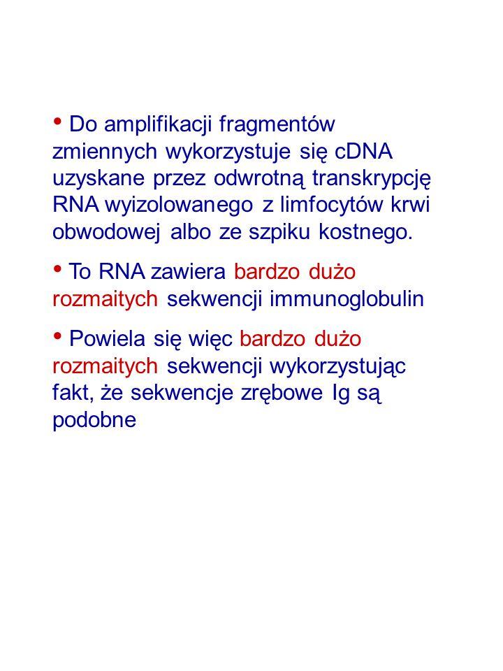 Do amplifikacji fragmentów zmiennych wykorzystuje się cDNA uzyskane przez odwrotną transkrypcję RNA wyizolowanego z limfocytów krwi obwodowej albo ze