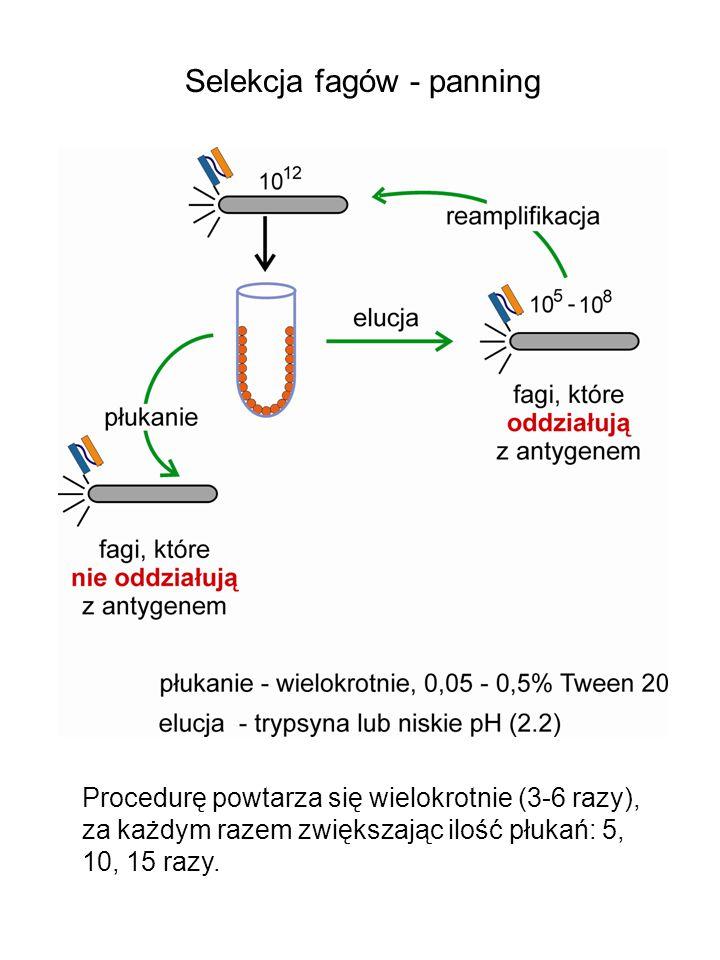 Selekcja fagów - panning Procedurę powtarza się wielokrotnie (3-6 razy), za każdym razem zwiększając ilość płukań: 5, 10, 15 razy.
