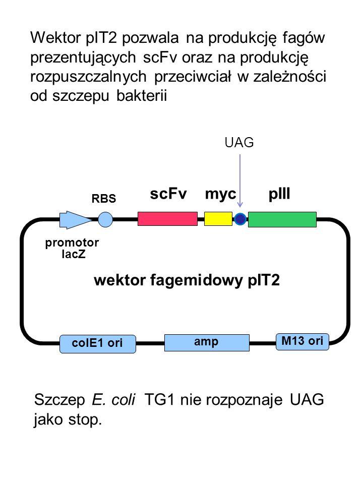 wektor fagemidowy pIT2 M13 ori colE1 ori amp promotor lacZ scFv myc pIII RBS UAG Wektor pIT2 pozwala na produkcję fagów prezentujących scFv oraz na produkcję rozpuszczalnych przeciwciał w zależności od szczepu bakterii Szczep E.