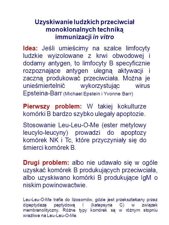 Uzyskiwanie ludzkich przeciwciał monoklonalnych techniką immunizacji in vitro Idea: Jeśli umieścimy na szalce limfocyty ludzkie wyizolowane z krwi obwodowej i dodamy antygen, to limfocyty B specyficznie rozpoznające antygen ulegną aktywacji i zaczną produkować przeciwciała.