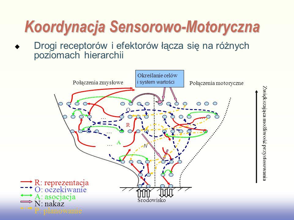 EE141 R: reprezentacja O: oczekiwanie A: asocjacja N: nakaz P: planowanie Zwiększająca możliwość przystosowania Środowisko … … … … R O A Połączenia zmysłowe Połączenia motoryczne ' Określanie celów i system wartości N Koordynacja Sensorowo-Motoryczna  Drogi receptorów i efektorów łącza się na różnych poziomach hierarchii