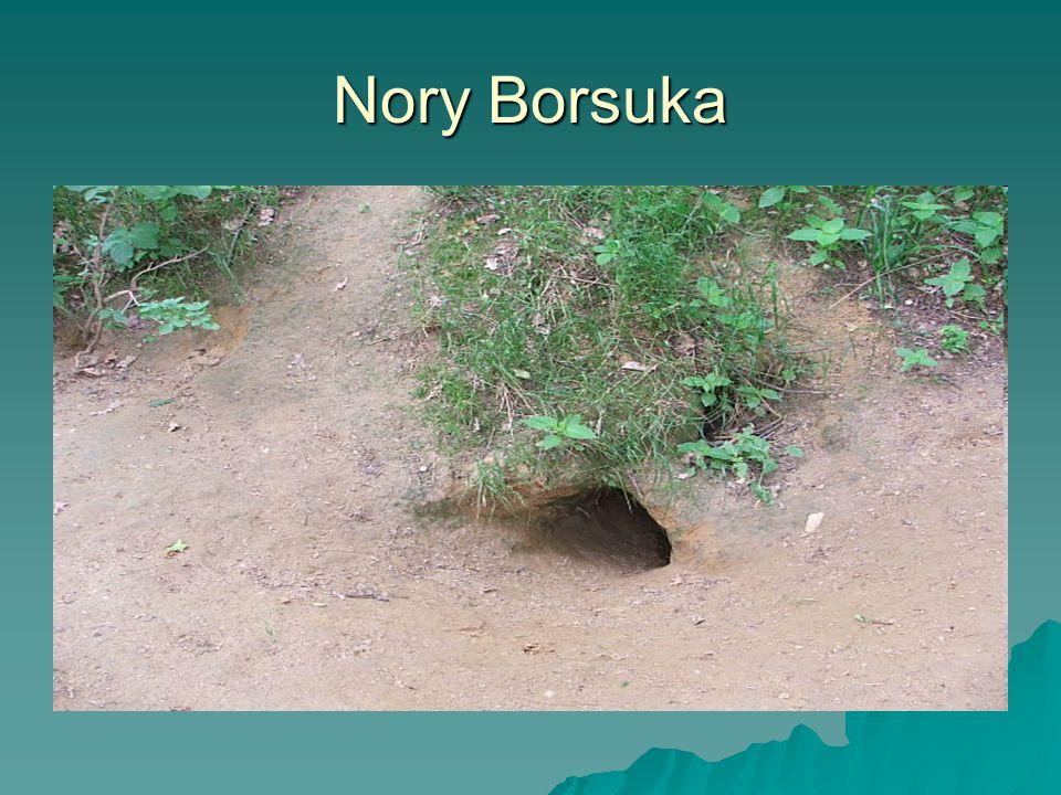 Nory Borsuka