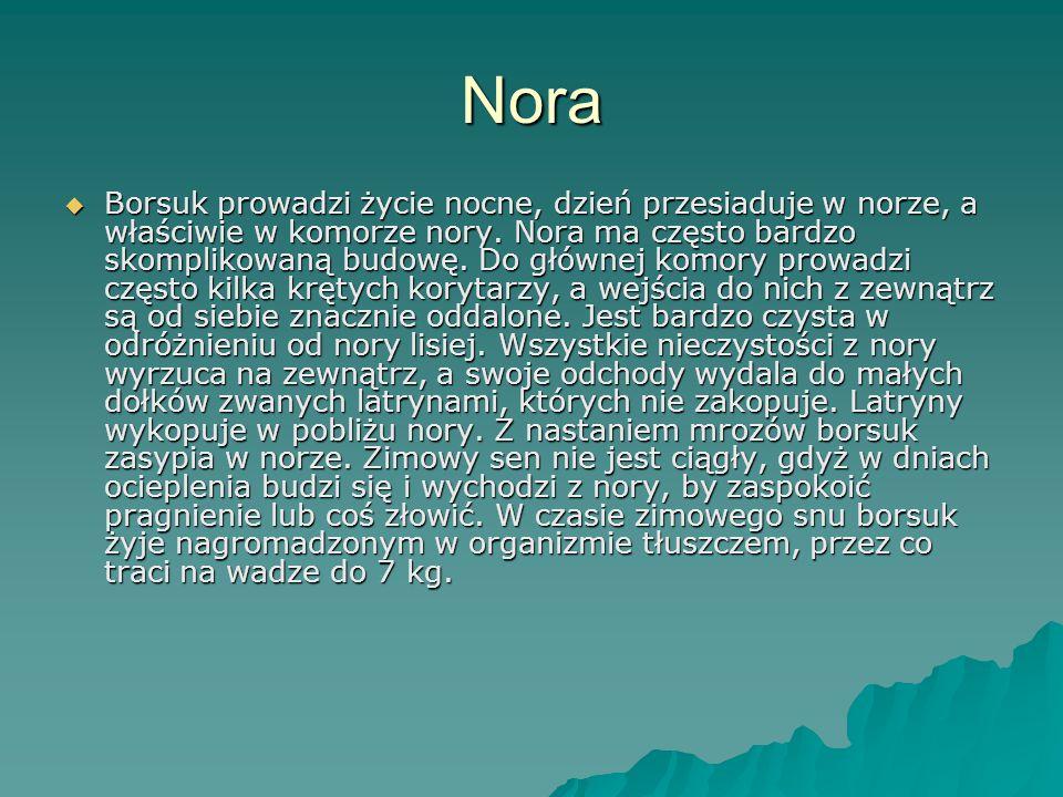 Nora  Borsuk prowadzi życie nocne, dzień przesiaduje w norze, a właściwie w komorze nory. Nora ma często bardzo skomplikowaną budowę. Do głównej komo