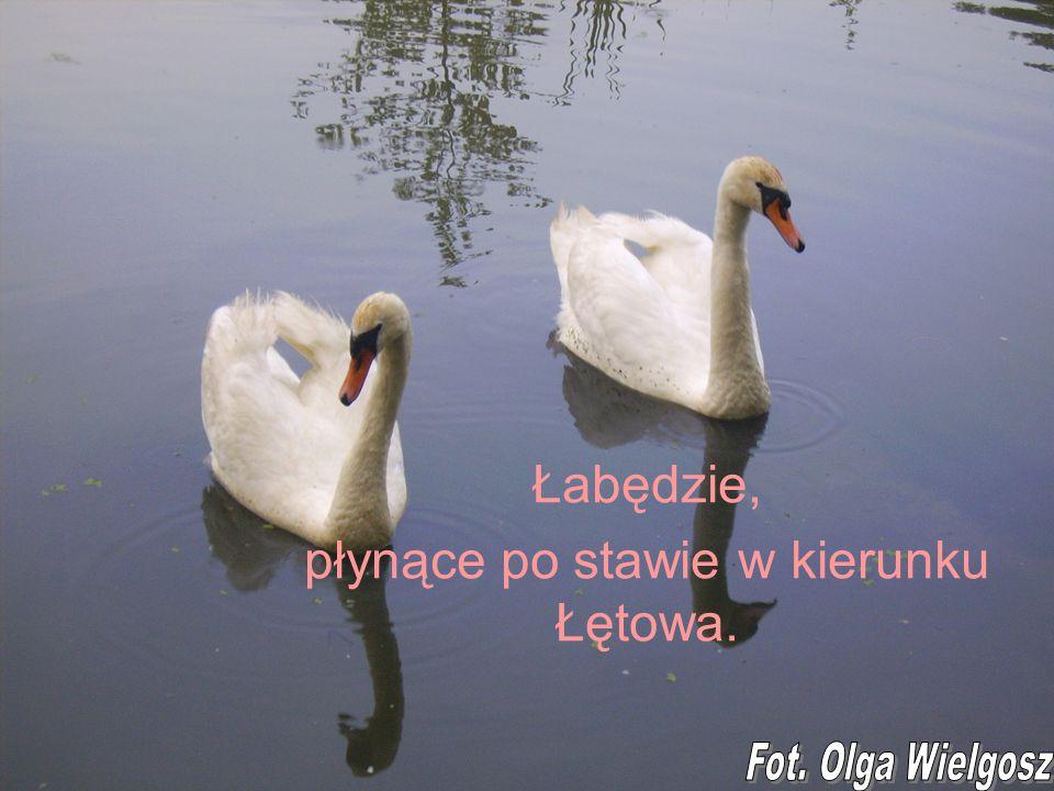 Łabędzie, płynące po stawie w kierunku Łętowa.