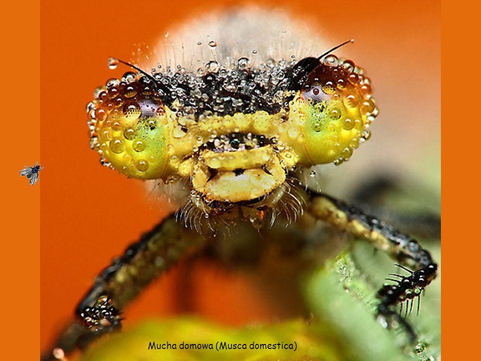 Pluskwa domowa (Cimex lectularius).Gatunek owada.