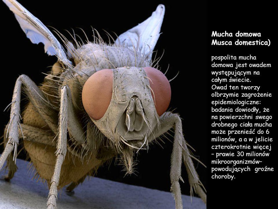 Mucha domowa Musca domestica) pospolita mucha domowa jest owadem występującym na całym świecie.